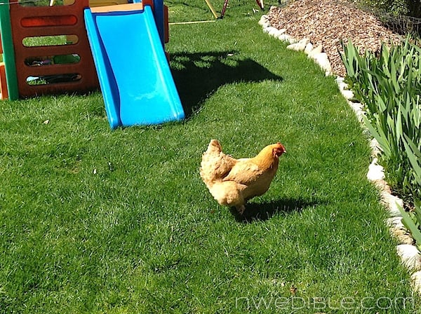 """Our hens love pecking at blades of suburban """"pasture."""""""