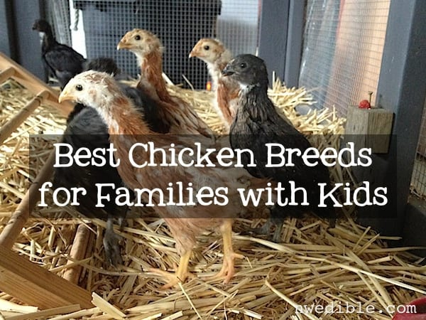 Best Chicken Breeds for Families with Kids