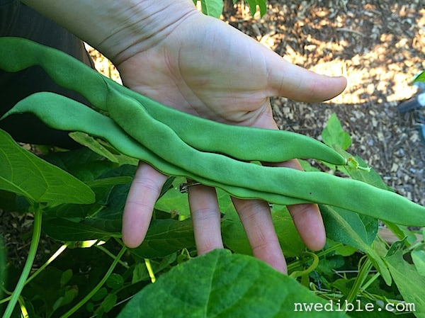 Pick your green beans once a day.