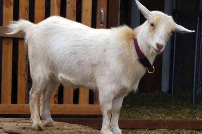 Urban Goats with Rachel Hoff