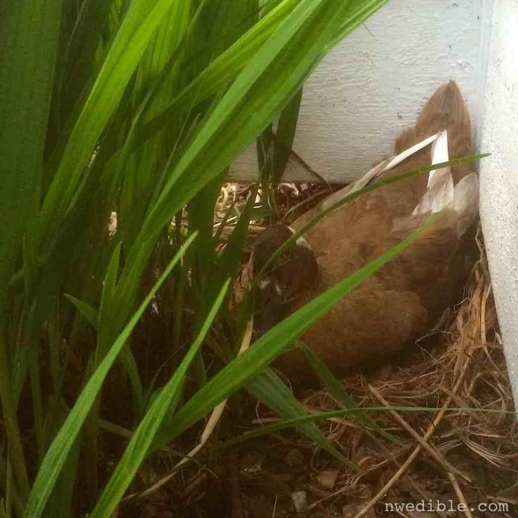 Duck Nest691