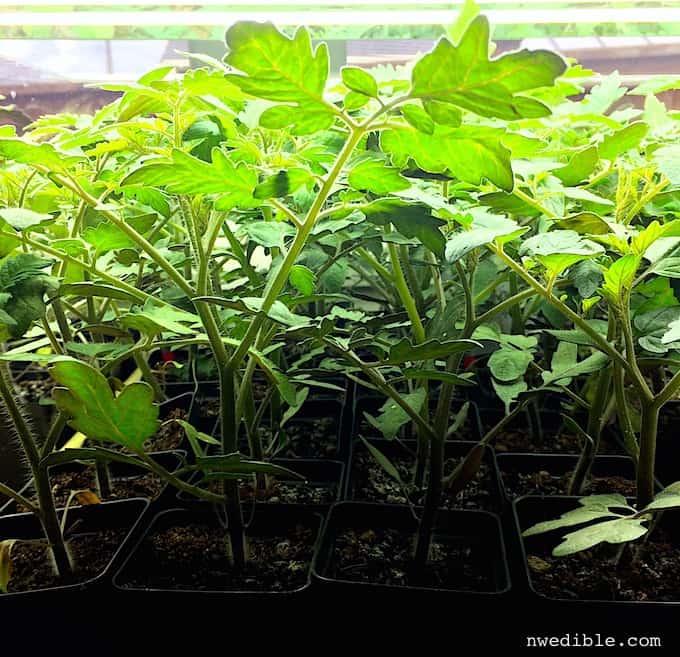 Tomato Seedlings Under Grow Lights
