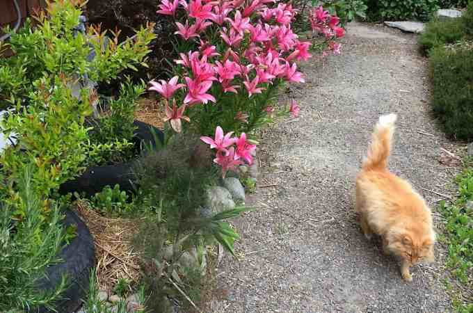 The pomegranate experiment, along with lilies - my favorite! - and Old Man Cat.