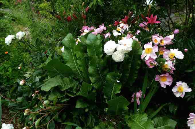 Peonies, horseradish and asparagus all share soil.