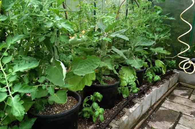 Stacking yields in the greenhouse: roma tomatoes, eggplant and basil all crammed in together.