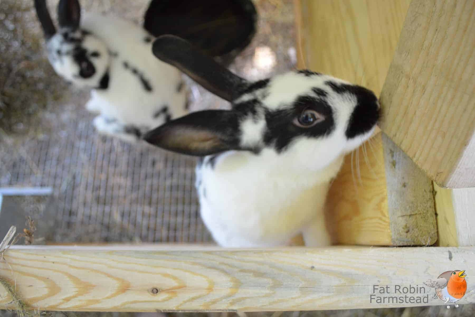 Rabbit Keeping another just for cuteness