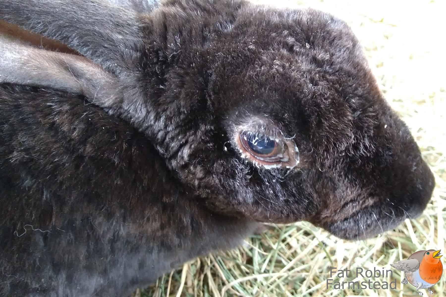 Rabbit Keeping sick rabbit needing to be culled