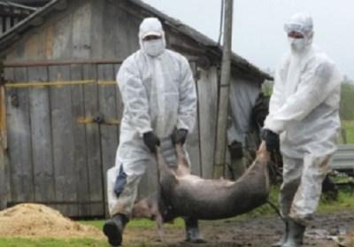 Alertă de pestă porcină africană! Carnea din străinătate se confiscă la Prahova - VIDEO