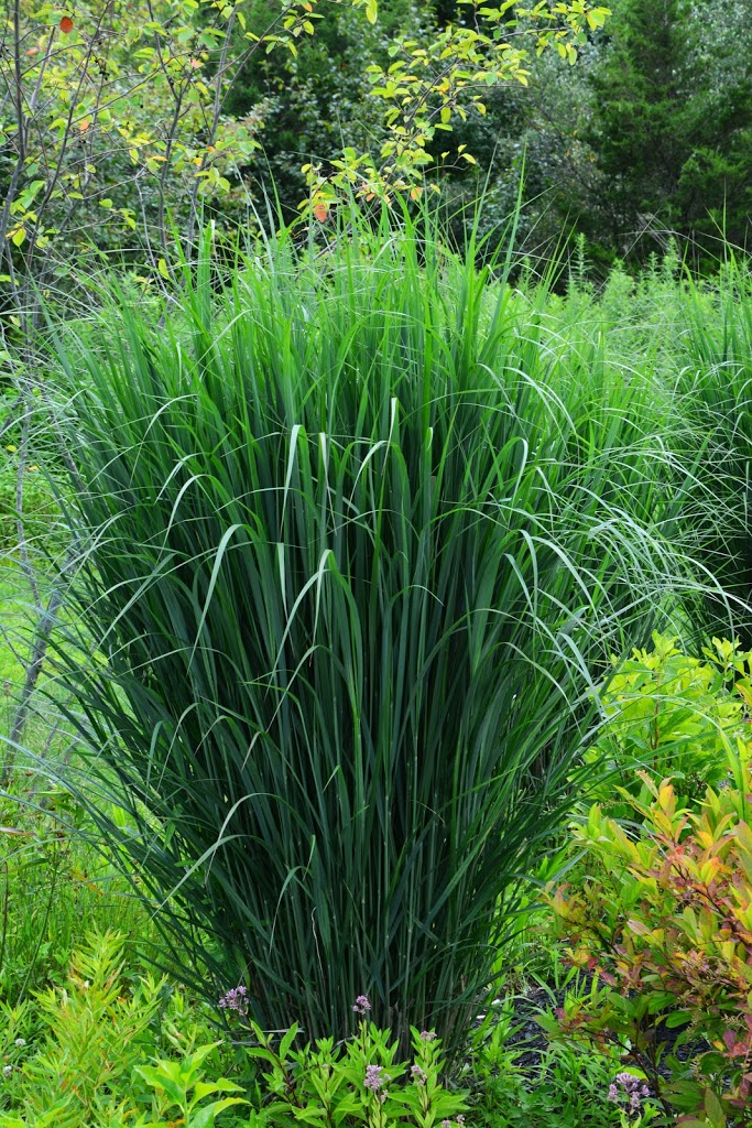 Why you need panicum 39 northwind 39 the obsessive neurotic for Tall perennial grasses