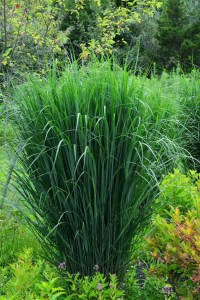 Top ten ornamental grasses