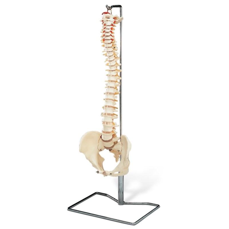 Stunning Spine Levels A Full Imitation Model Spine Spine L5 S1 Model Spine Shop