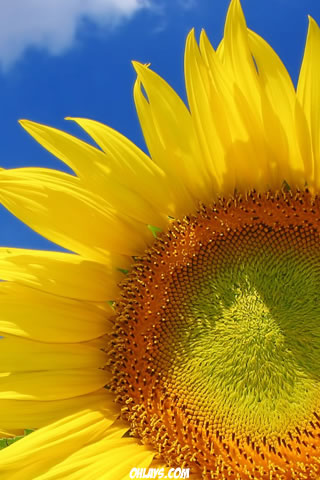 Sunflower iPhone Wallpaper | #2151 | ohLays