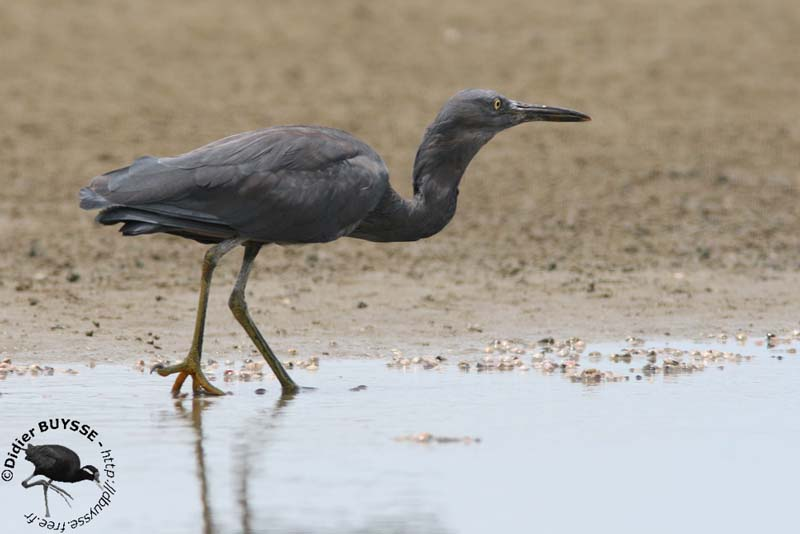 Pacific or Eastern Reef Egret Eastern Reef Egret in dark form has slate grey body and wings  Throat is  slightly streaked with white  Bill is grey brown  Legs and feet are bluish  grey