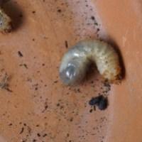 Majski hrošč in njegove požrešne ličinke