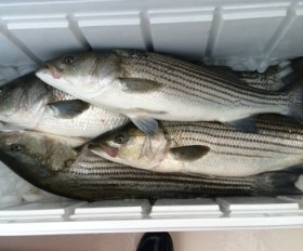 stripers south