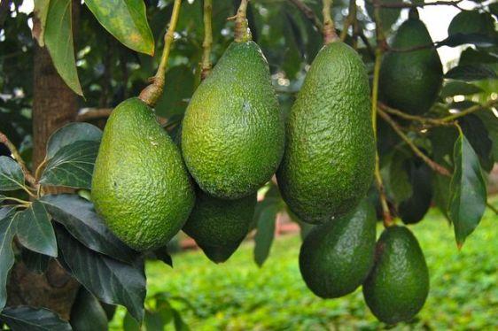 owoce-awokado-w-srodowisku-naturalnym3925