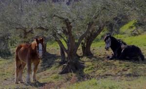oliveraies-baillaury