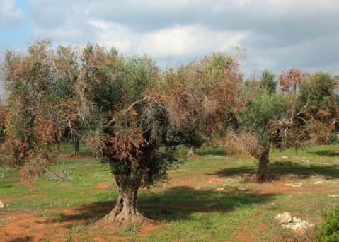 xylella fastidiosa red de alerta e informacion fitosanitaria de andalucia olivar de sierra los pedroches aceite ecologico