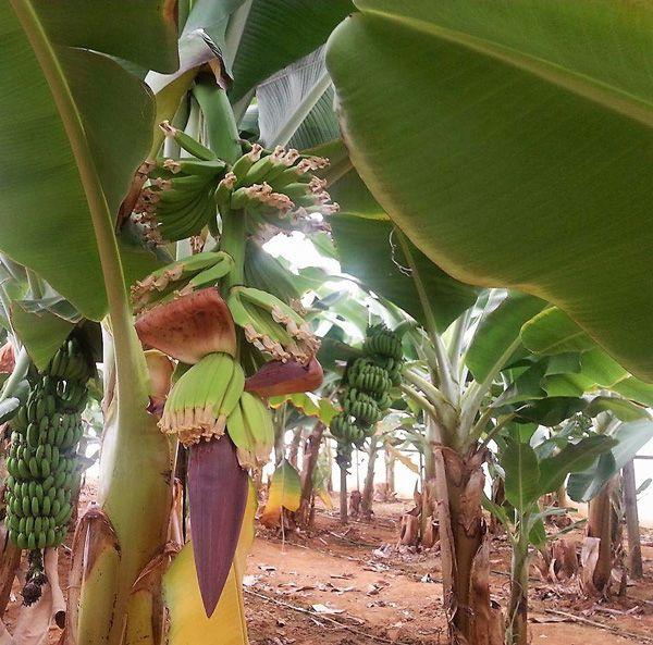 bananes-kritis3