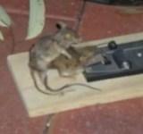 rato necrofilo 1
