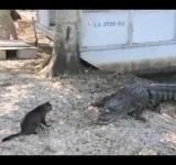 Gato x Crocodilo