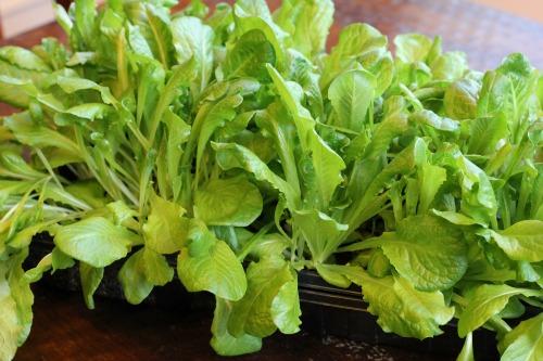 romaine lettuce starts