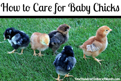 how to care for baby chicks