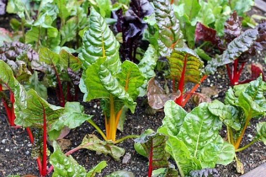 Rainbow-Swiss-Chard-picture
