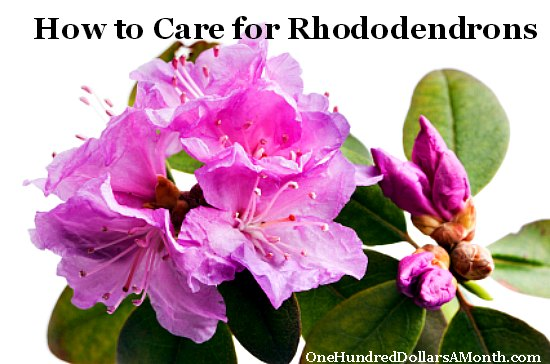 How to care for rhododendrons for How to care for rhododendrons after blooming