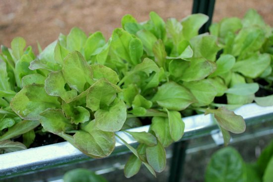 grow lettuce in greenhouse gutters