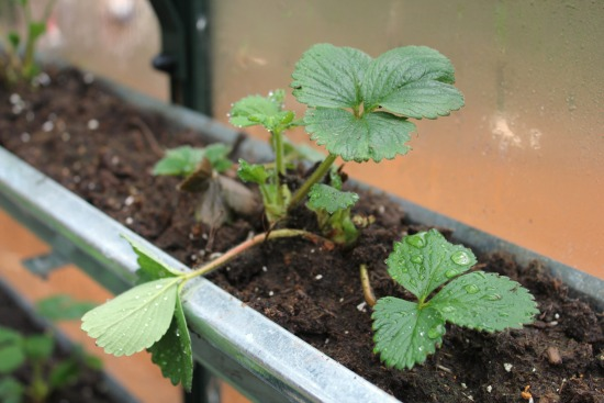 strawberry plants in gutters