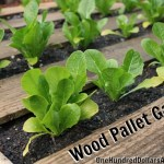 Wood Pallet Gardens – Lettuce, Celery, Strawberries, Bok Choy, Spinach and More