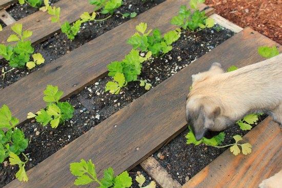 DIY Wood Pallet Garden celery