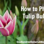 How to Plant Tulip Bulbs
