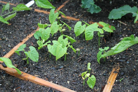 green bean seedlings