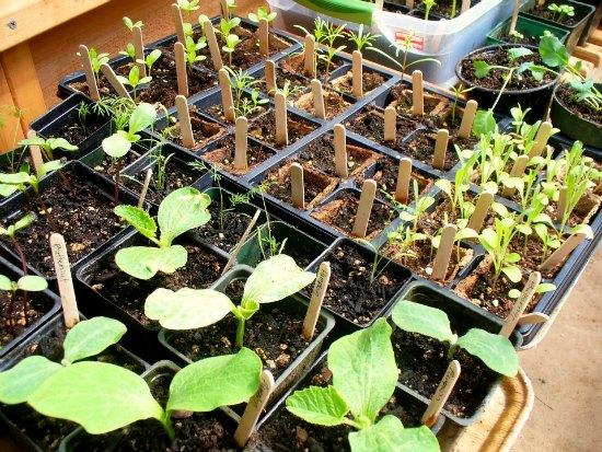 greenhouse seedlings