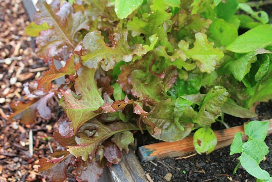 oak leaf lettuce