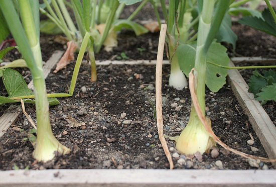square foot gardening onions