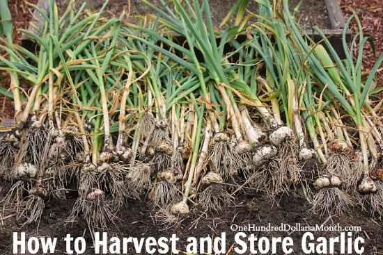 How to Harvest and Store Garlic