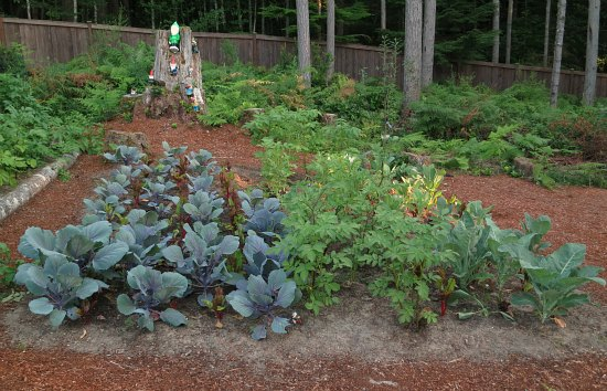 grow red cabbage