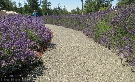 lavender path walkway