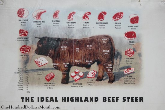 scottish highland beef steer