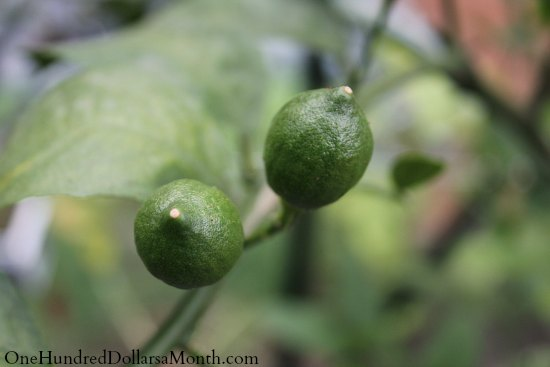 baby lemons