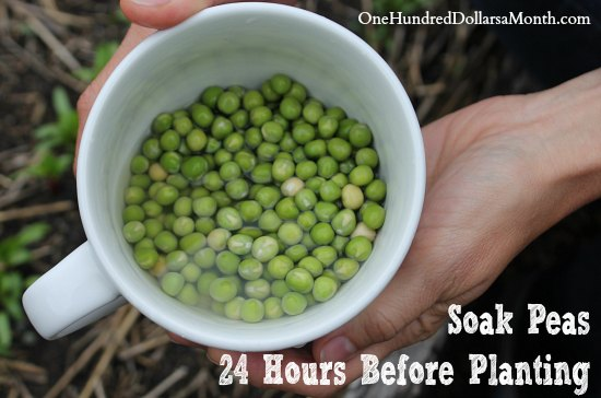 garden tips soak peas
