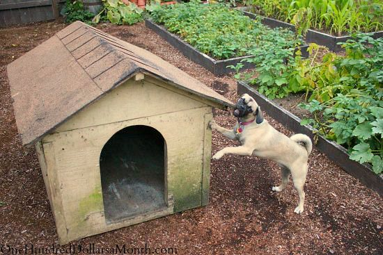 lucy the puggle dog and dog house