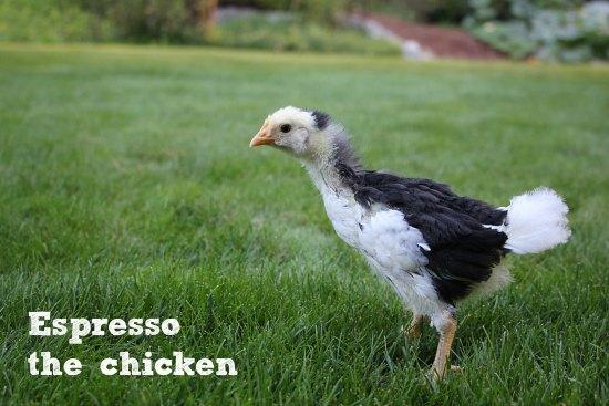 mottled java chick