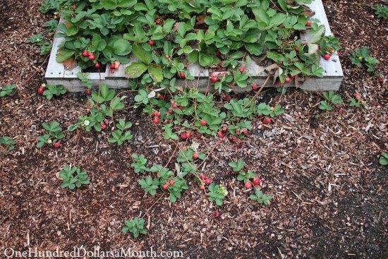 strawberry runners