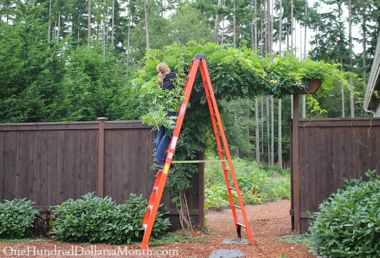 wisteria growing arbor