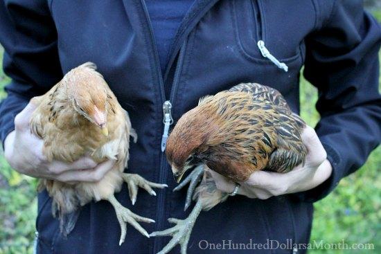 Araucana chicks