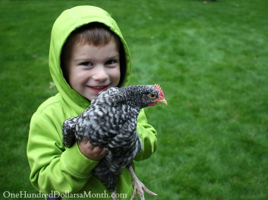 boy with chicken barred rock rooster